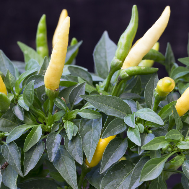 """""""Chilly pepper"""" stock image"""