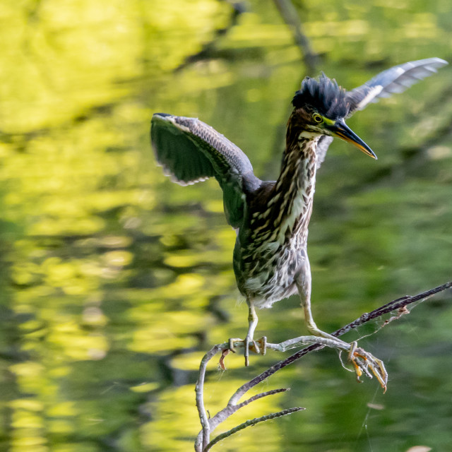 """""""Juvenile Green Heron isolate on tree branch"""" stock image"""