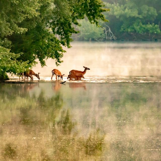 """White-tailed Deer Family Early Morning Fog"" stock image"