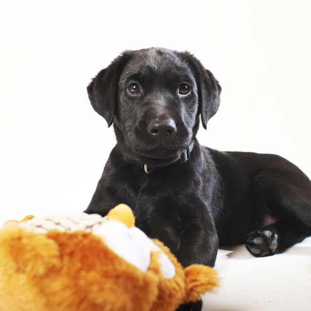 """Black Labrador puppy sitting"" stock image"