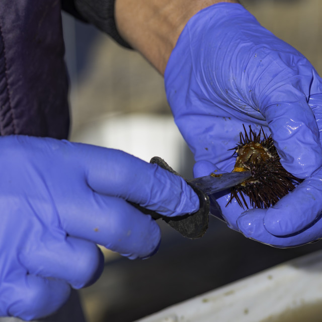 """""""fisherman cleans a sea urchin with a knife to eat the pulp"""" stock image"""