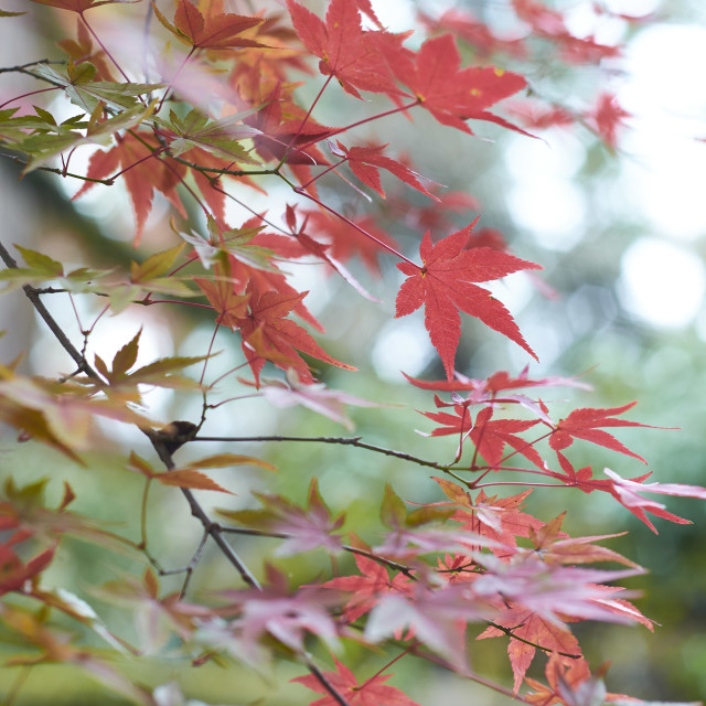 """""""Red Maple Leaves"""" stock image"""