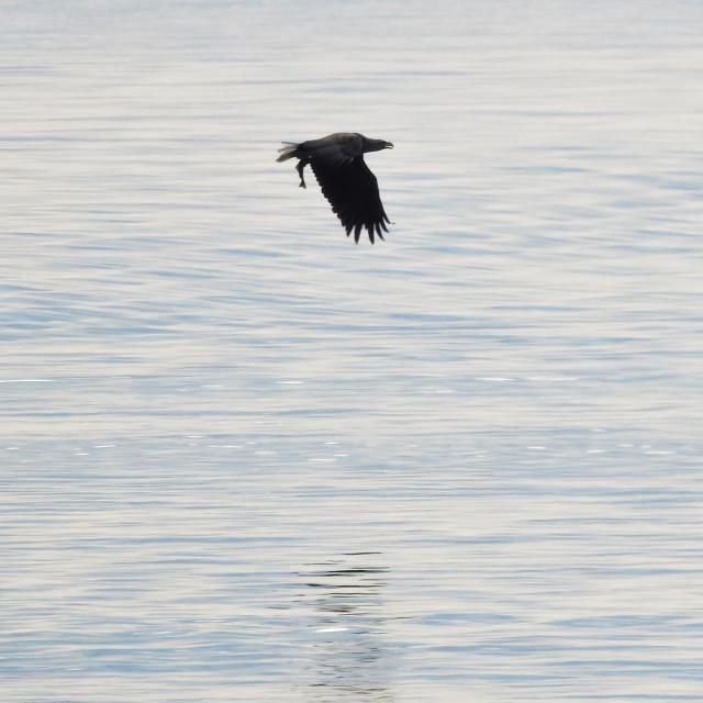 """Norwegian Eagle in flight"" stock image"