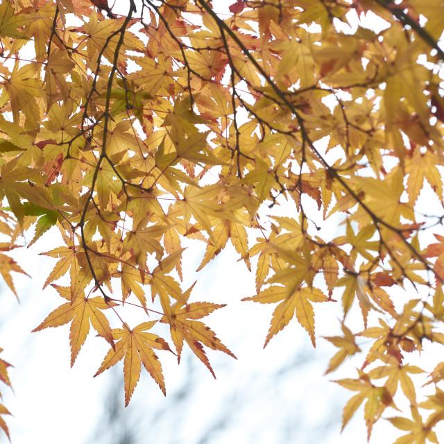 """""""Golden Maple Leaves"""" stock image"""