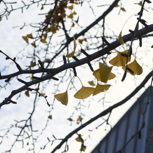 """""""Ginkgo leaves"""" stock image"""