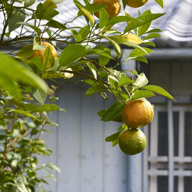 """Oranges on a tree"" stock image"