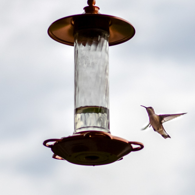 """humming bird"" stock image"