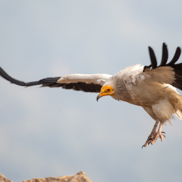 """Egyptian vulture - Neophron percnopterus"" stock image"