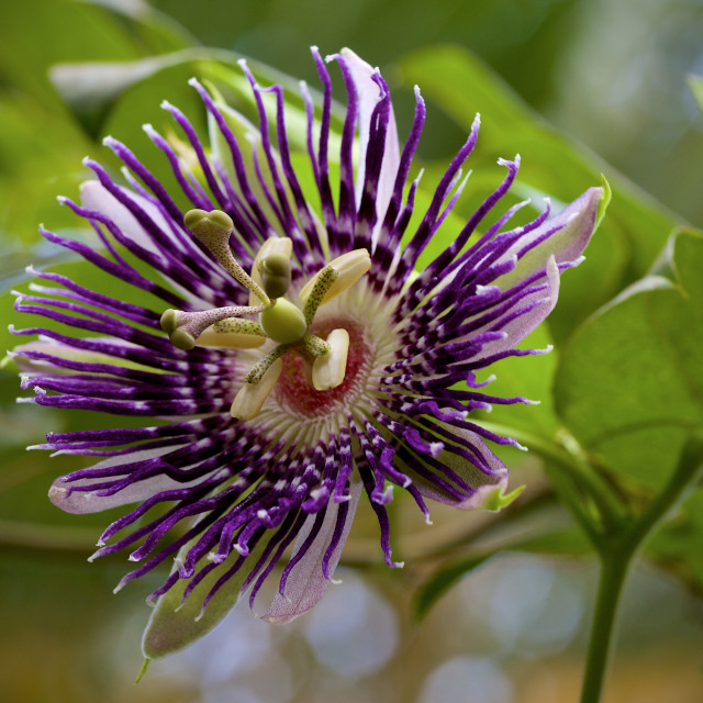 """Passiflora"" stock image"
