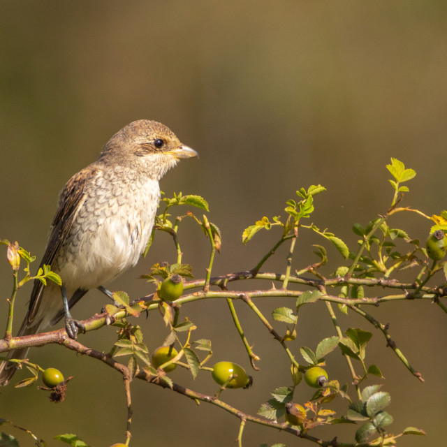"""Red-backed shrike - Lanius collurio"" stock image"