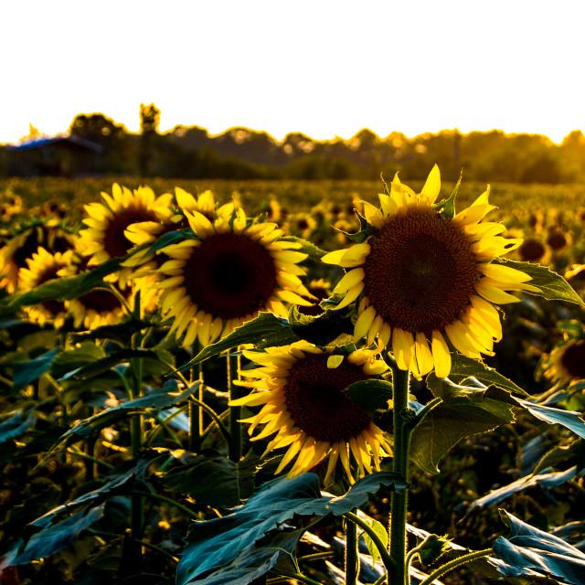 """Sunset Sunflower"" stock image"