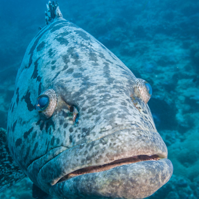 """Grouper, Mafia Island, Tanzania"" stock image"