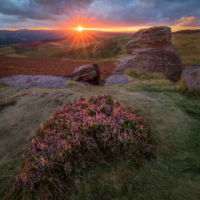 """Flowering Heather at Sunset"" stock image"