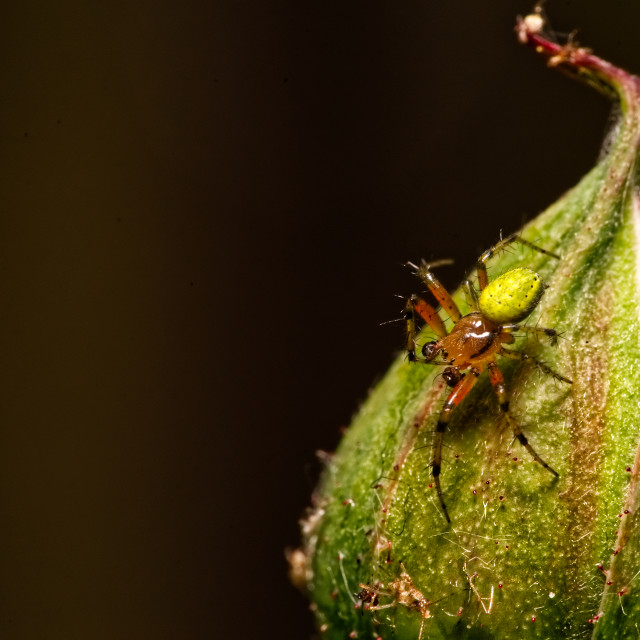 """""""Green Orb Weaver on a rose bud"""" stock image"""