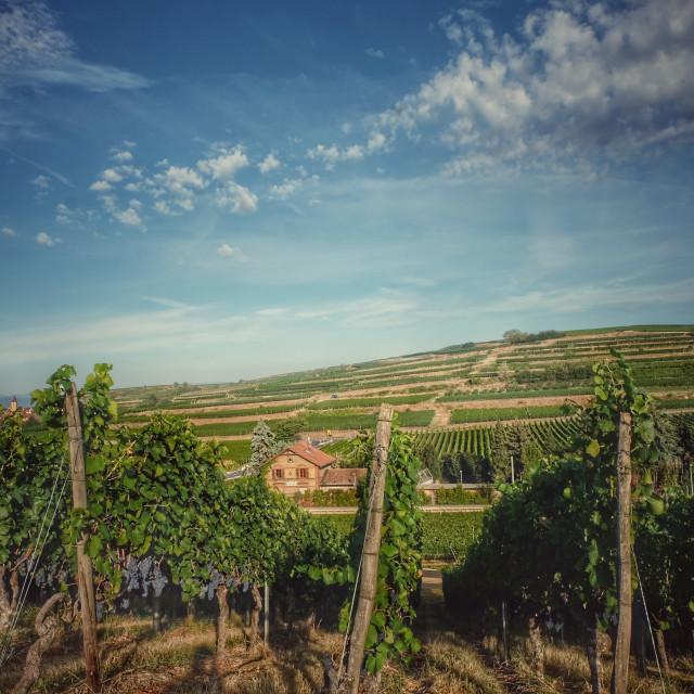 """Wineyard"" stock image"