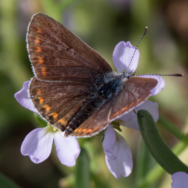 """4B9A9419 Brown Argus"" stock image"