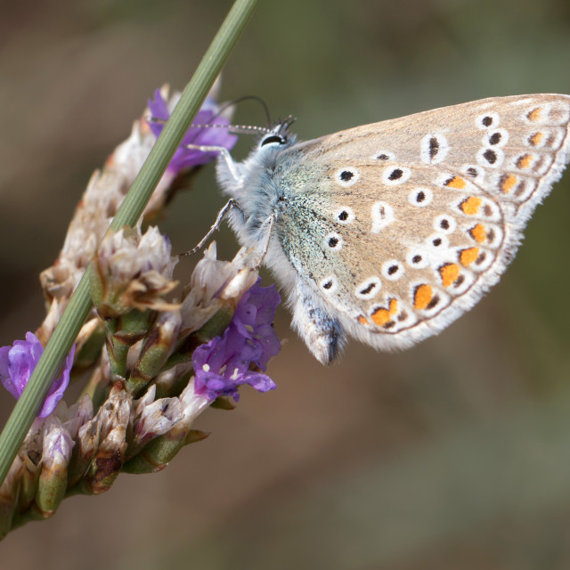 """4B9A9115 Brown Argus"" stock image"