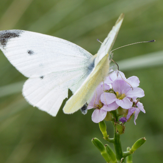 """4B9A9313 Large White"" stock image"