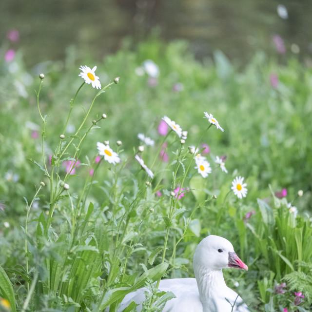 """White Duck"" stock image"