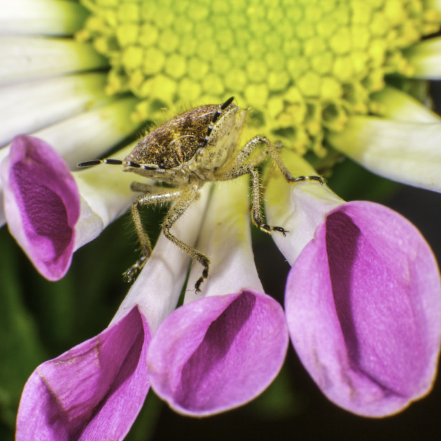 """""""Sloe Bug"""" stock image"""