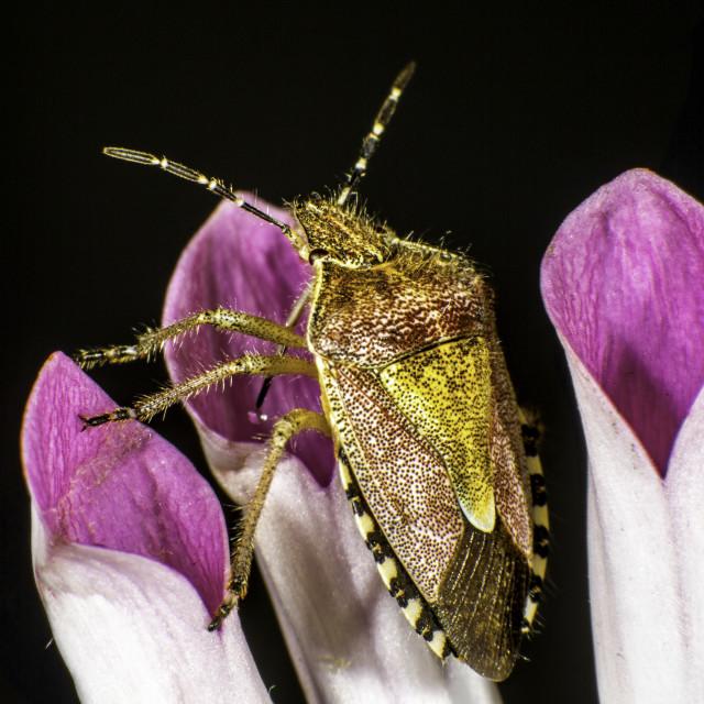 """""""Hairy Shieldbug"""" stock image"""