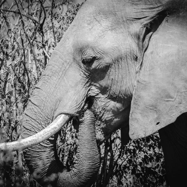 """""""A Closeup shot of an elephant"""" stock image"""