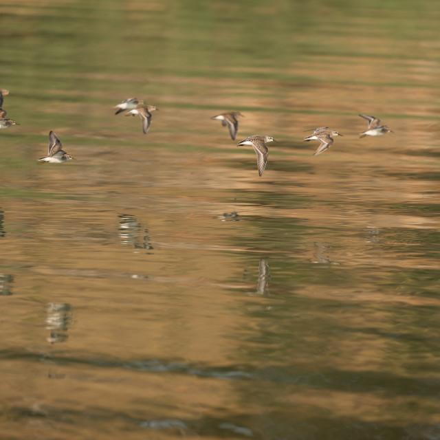 """Western Sandpipers flying over the lake."" stock image"