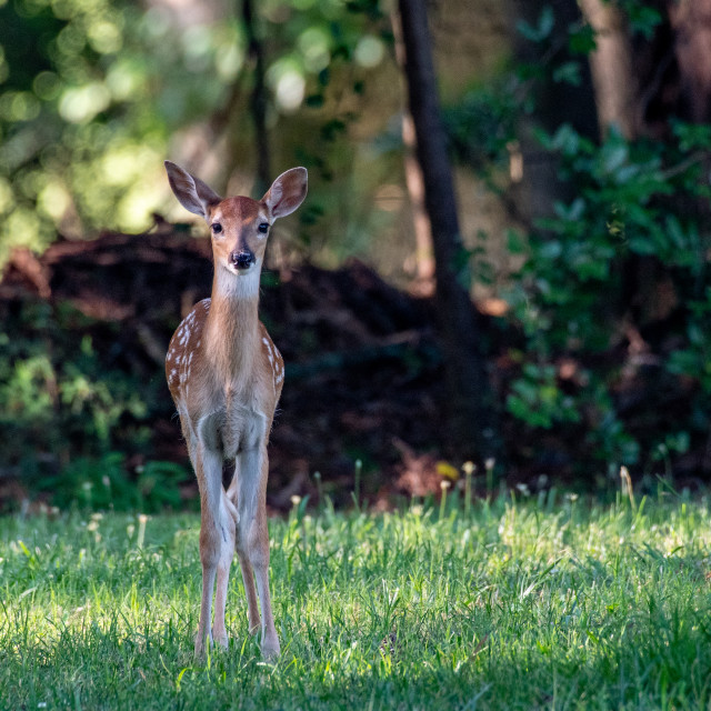 """""""White-tail deer fawn in early morning light"""" stock image"""