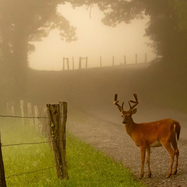 """White-tail deer along foggy lane"" stock image"