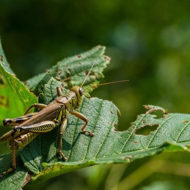 """Grasshopper sitting on a green leaf."" stock image"