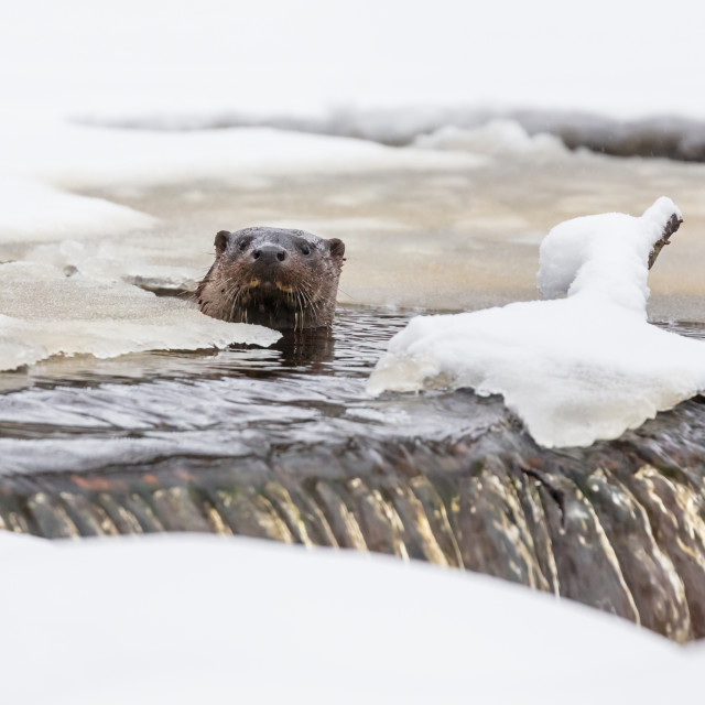 """Eurasian otter peeking from a frozen river"" stock image"