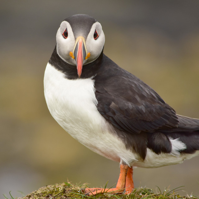 """""""Puffin on Lungha"""" stock image"""