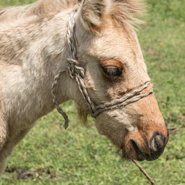 """Closeup of a Kyrgyz horse standing waiting for tourists on a horse riding trip near Bokonbayevo, Kyrgyzstan"" stock image"