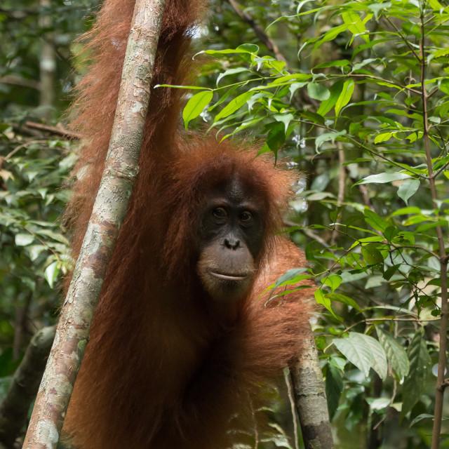 """Critically endangered Sumatran orangutan (Pongo abelii), in Gunung Leuser National Park, Indonesia"" stock image"