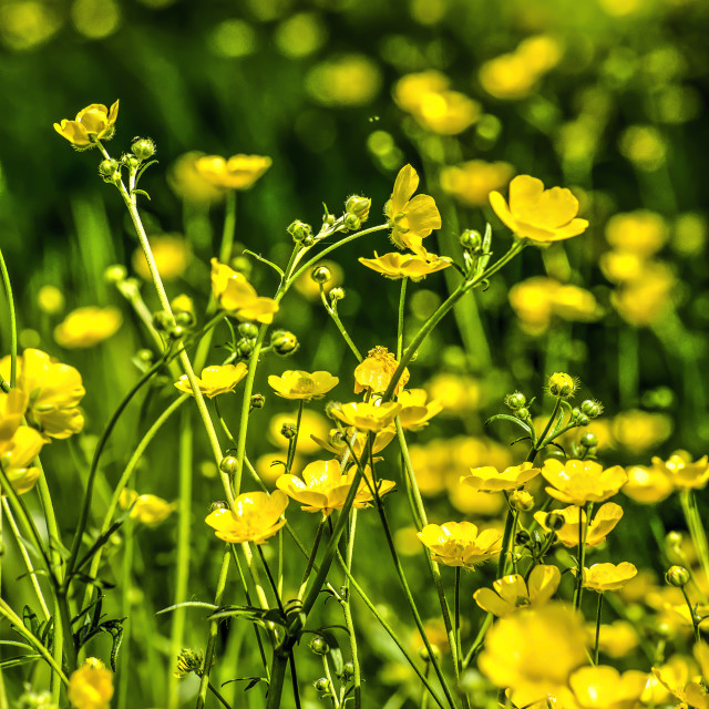 """Buttercup in springtime"" stock image"