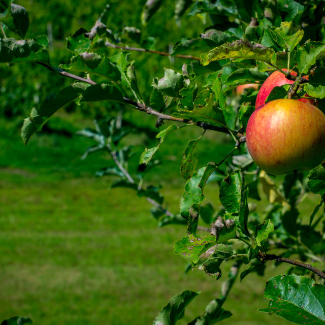 """Apples On A Tree"" stock image"