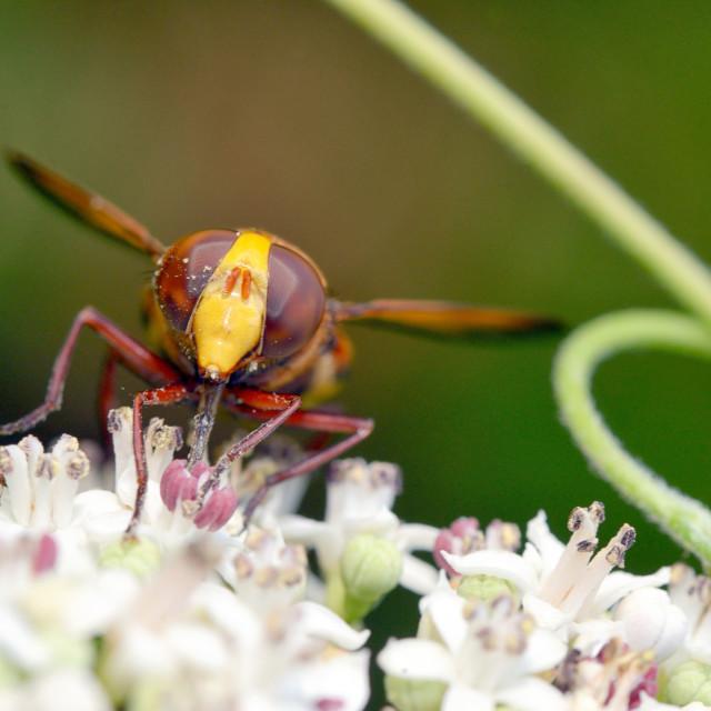 """Big eyed fly macro"" stock image"