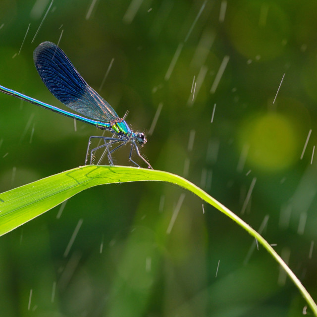 """dragonfly in forest (coleopteres splendens)"" stock image"