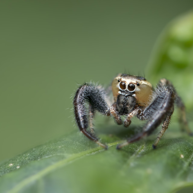 """Thyene imperialis or jumping spider on green leaf"" stock image"