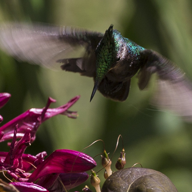 """Antillean Crested Hummingbird hovering"" stock image"