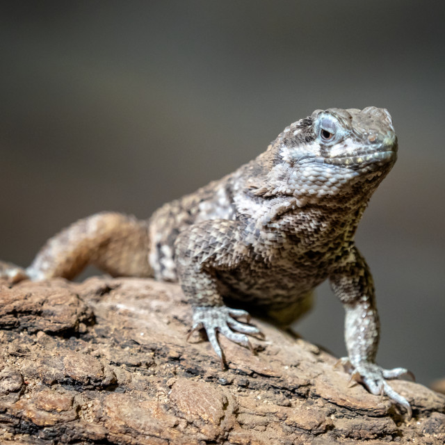 """Blue spiny lizards resting on the branch, Sceloporus cyanogenys"" stock image"