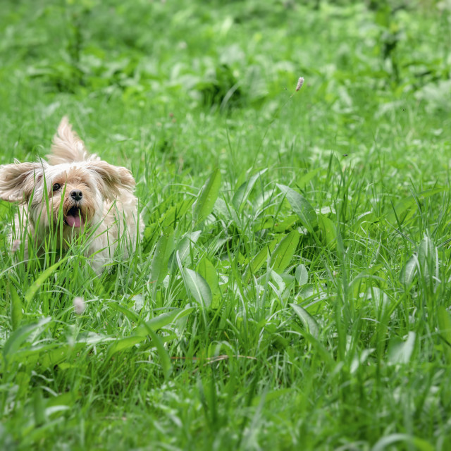 """Small cute dog running through tall grass"" stock image"