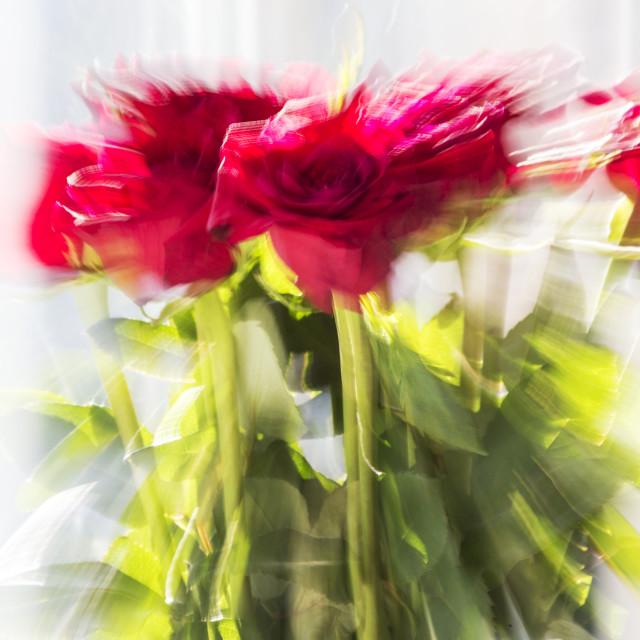 """Valentine roses"" stock image"