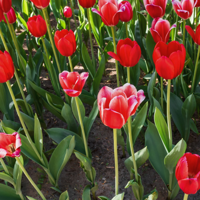 """""""Red tulip with white edges in a spring park"""" stock image"""