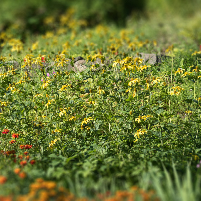 """""""Meadow with blooming yellow flowers. The tilt-shift effect"""" stock image"""