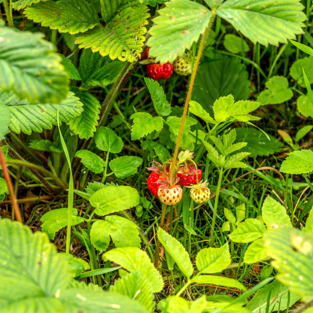 """Strawberry on the bush, ripening berries"" stock image"