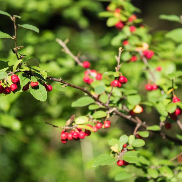 """""""Berries of red mountain ash among the leaves on a blurred background"""" stock image"""