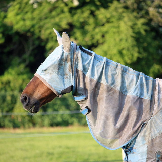 """Horse with fly rug and mask"" stock image"