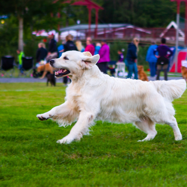 """""""Dog show in Trondheim"""" stock image"""