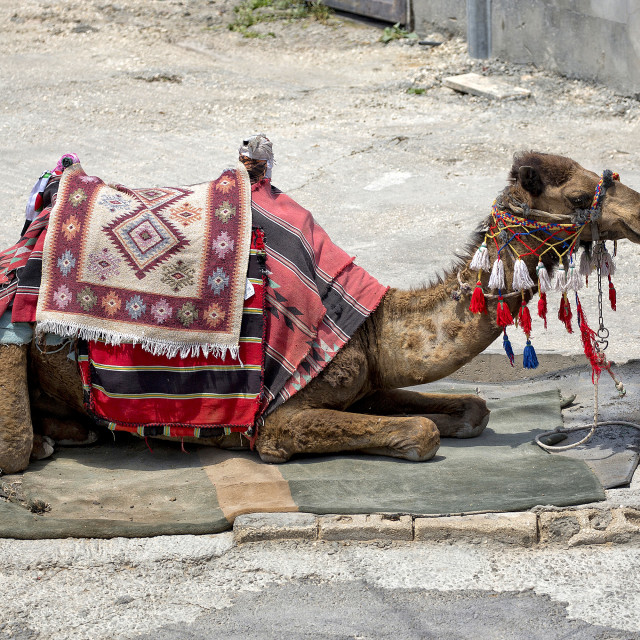 """Camel on the street in Jerusalem"" stock image"
